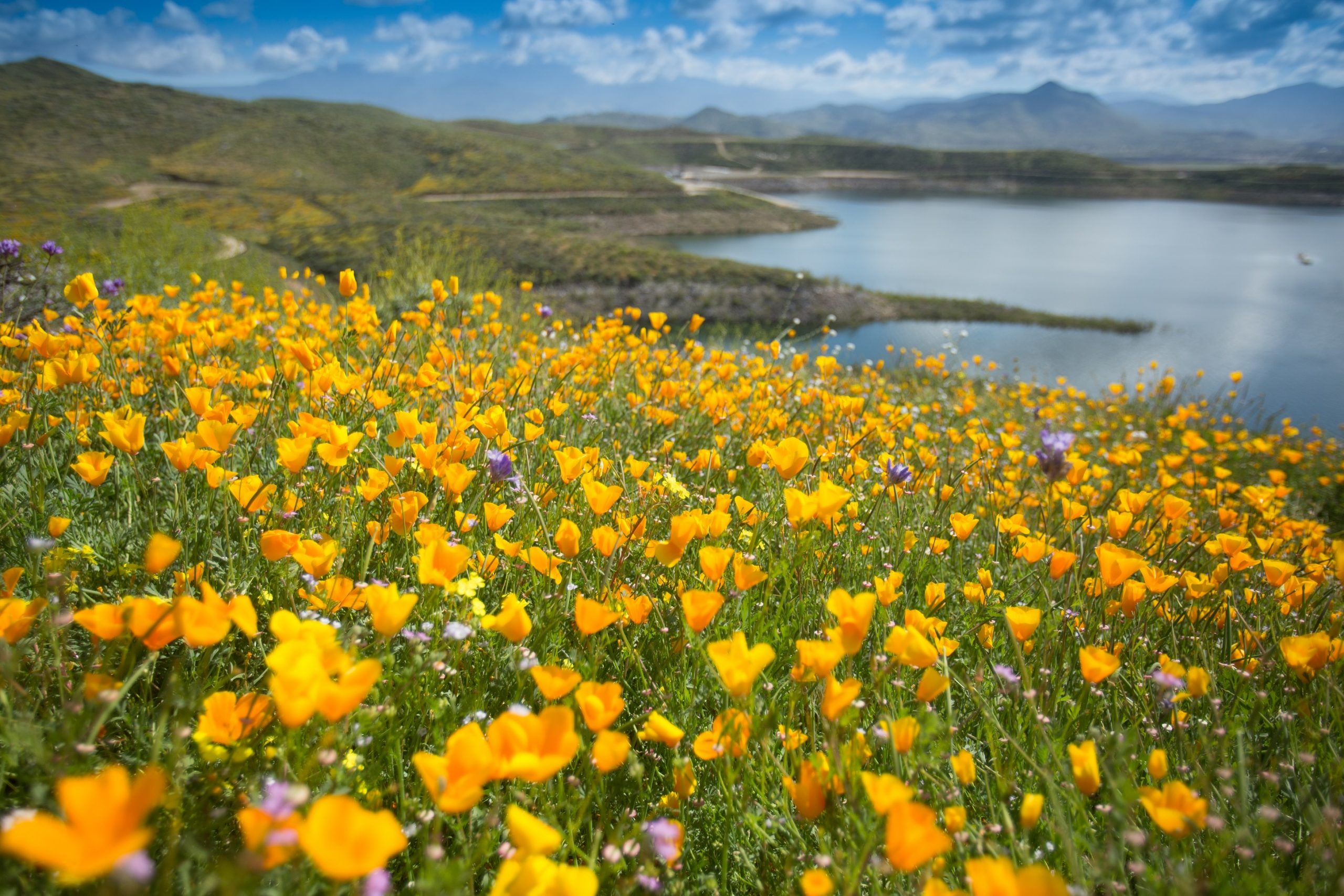 Whimsical Wildflowers at Diamond Valley Lake